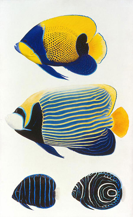 At top is the adult Blue-girdled Angelfish, and at bottom left is its  juvenile. The middle fish is the adult Emperor Angelfish, and its juvenile  is at ...